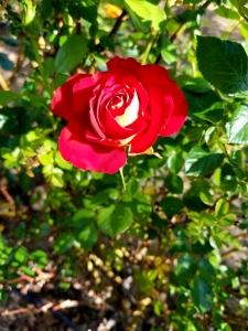 Rose - Blog 8