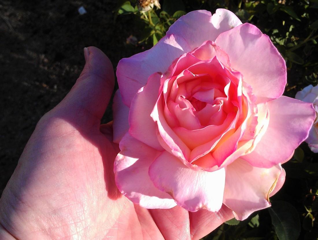 Rose Garden Dreams